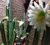 cactusnightflower.png