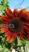 redsunflower.png