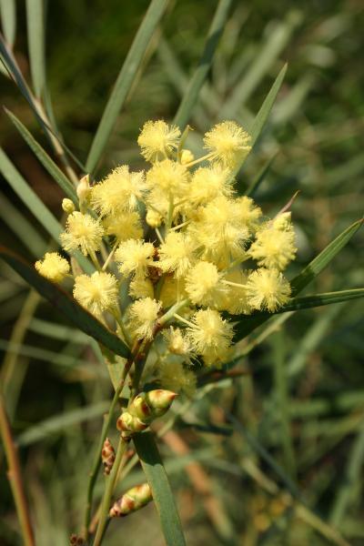 Acacia iteaphylla