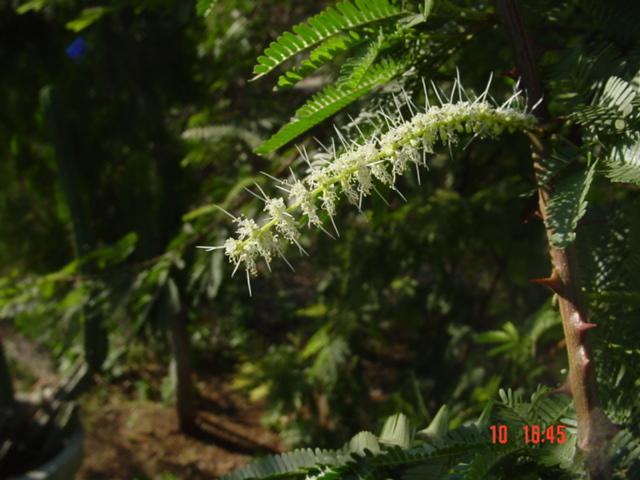 Mimosa Hostiles Flower