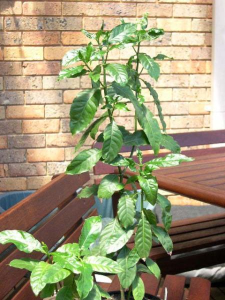 >60cm and 20cm plants. P. carthaginensis