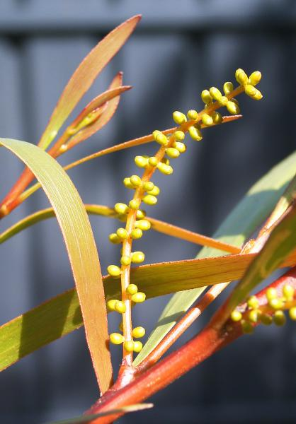 Acacia Obtusifolia Pre-flower