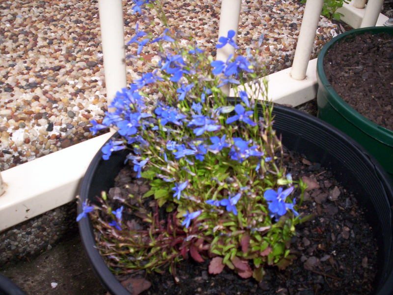 "Lobelia sp ""Blue Eyes"""