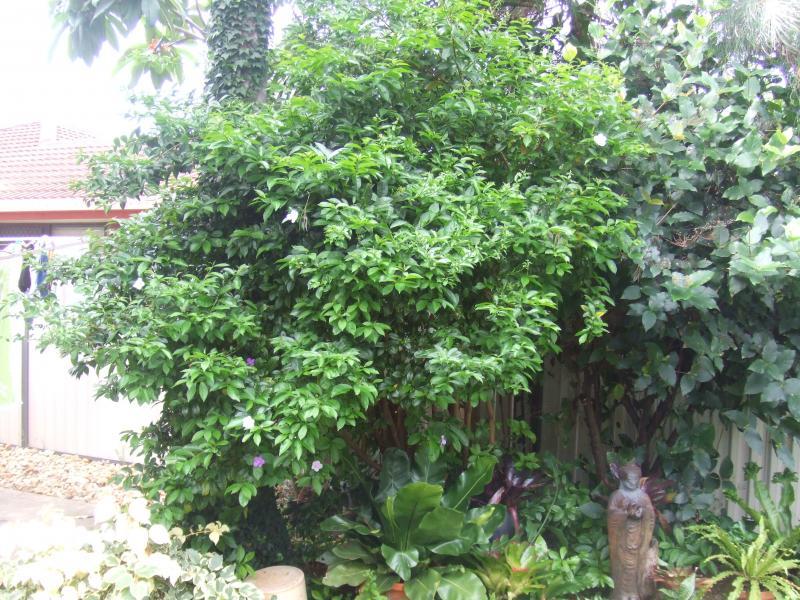 Large Brunfelsia grandiflora