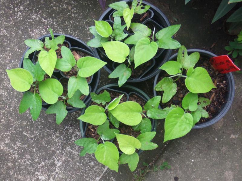Argyreia nervosa v nervosa seedlings