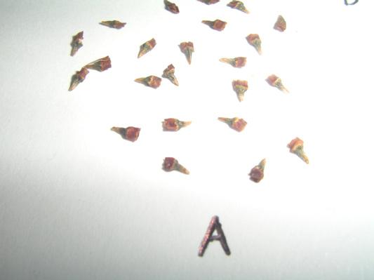 Kratom Seed Pod 5