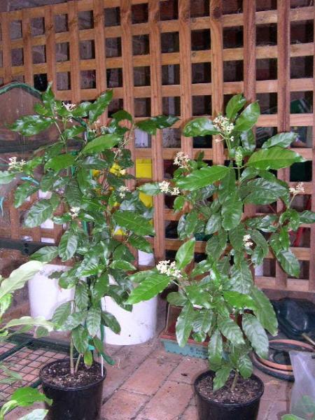 2 carthaginensis still in bloom