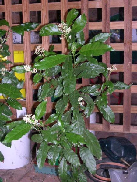 Single carthaginensis still in bloom