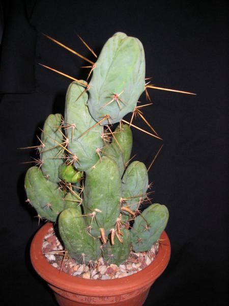 Trichocereus bridgesii 'monstrose'