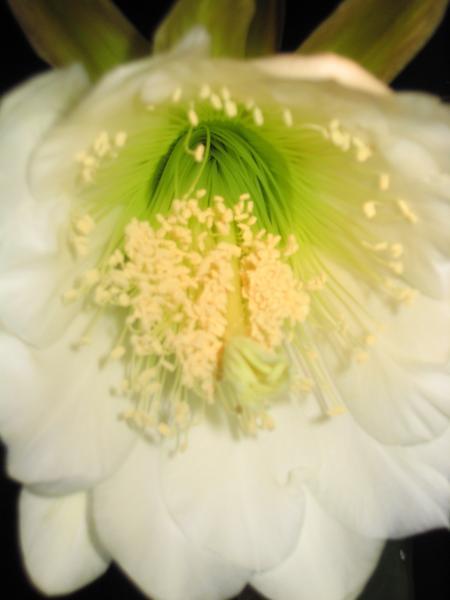 Trichocereus scopulicola bloom
