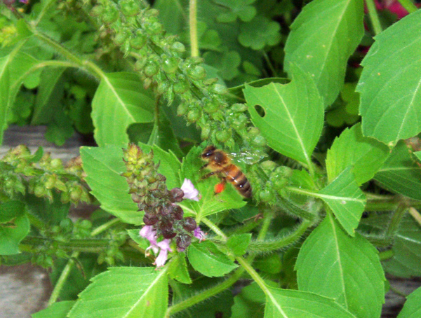 Bee inspecting Holy Basil