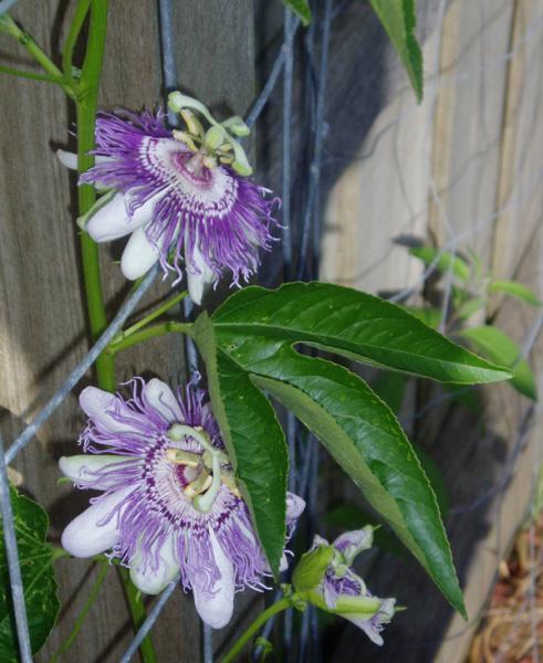 Passiflora incarnata flower