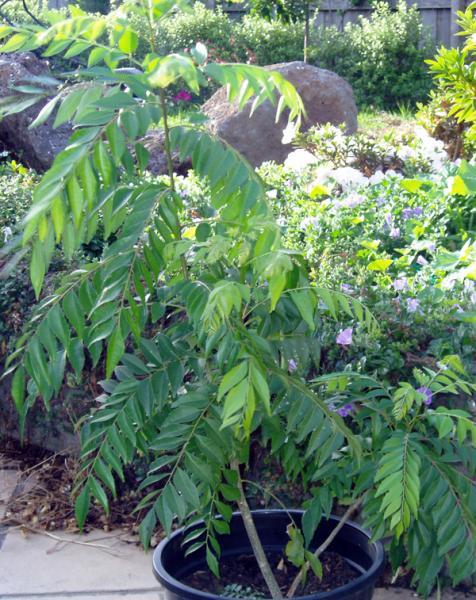 Murraya koengii (Curry leaf)