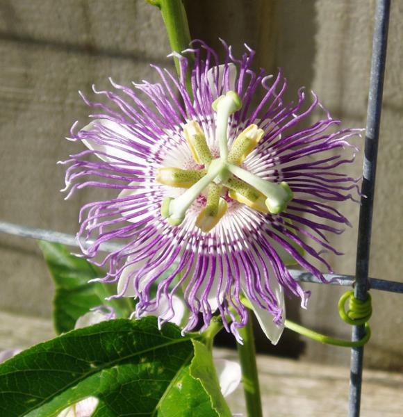 Passionflower (P. incarnata) flower