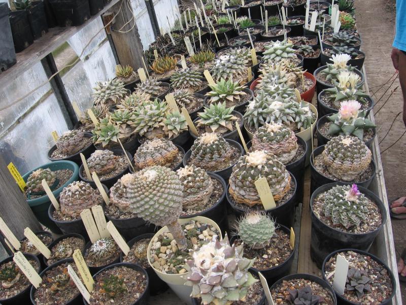 INSANE ariocarpi collection
