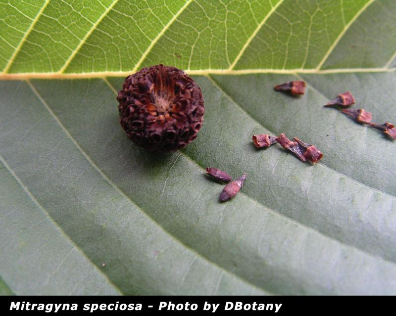 Mitragyna speciosa Seed Pods 2