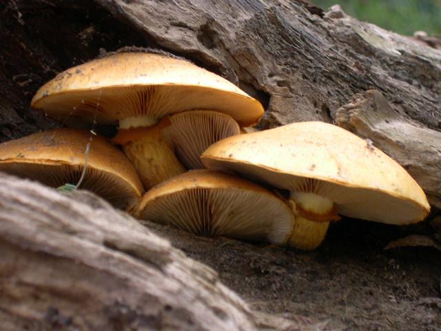Gymnopilus sp.