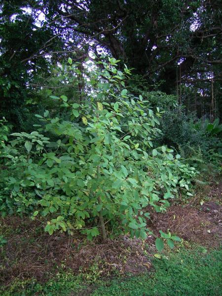 thai plant