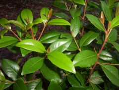 "catha edulis ""planthelper"""