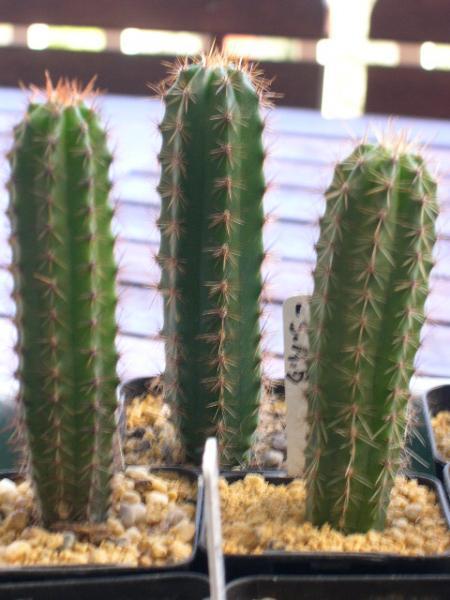 T. pachanoi seedlings (SAB source)