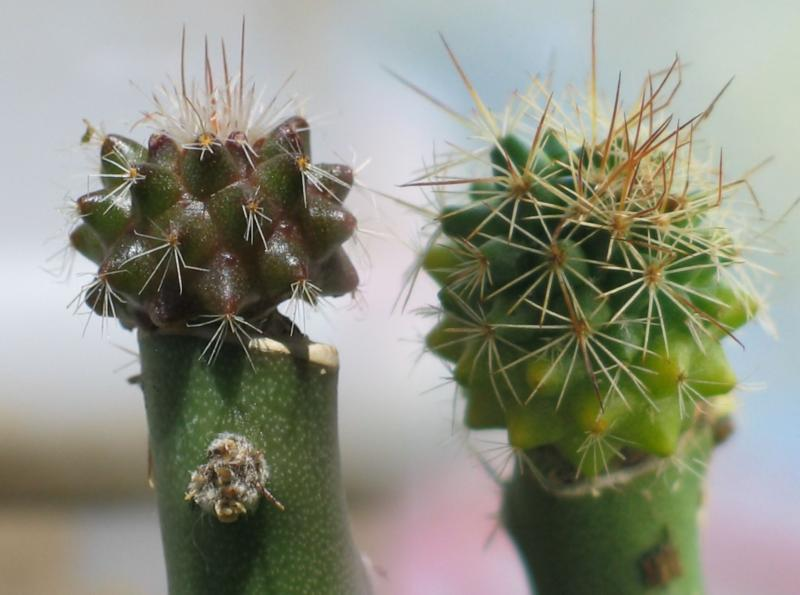 Mammillaria grafts