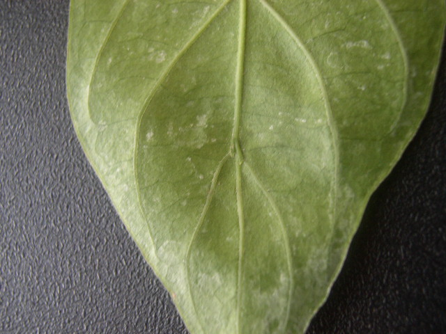 Psychotria viridis leaf (3)