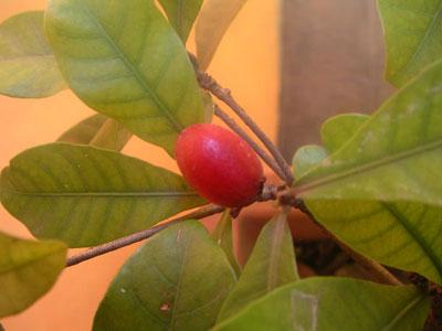Miracle Fruit (3)