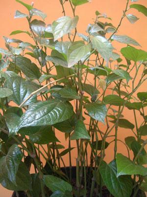 Piper sarmentosum (2)