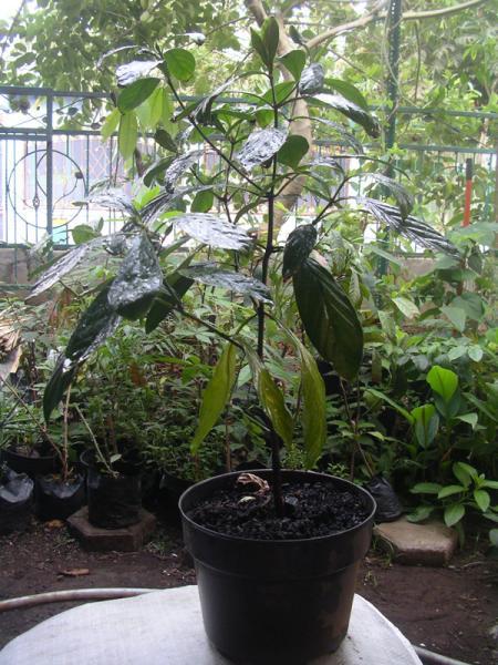 Psychotria viridis (1)