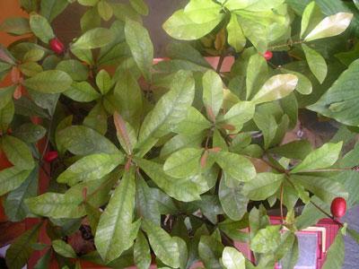 Miracle Fruit (4)