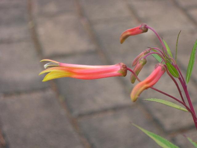 Lobelia spp. flowering
