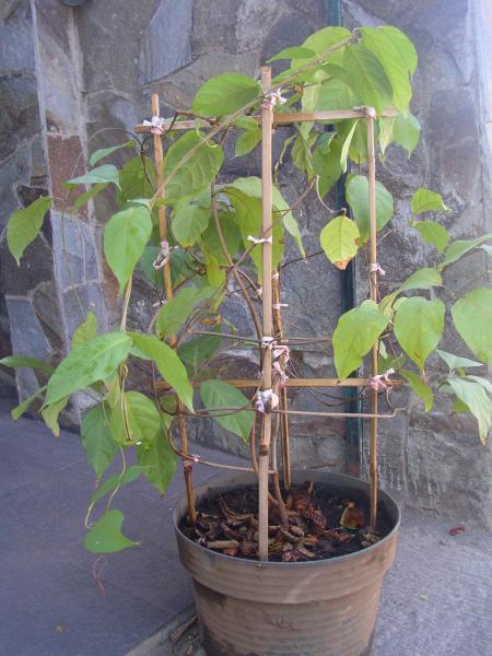 Banisteriopsis caapi (2)