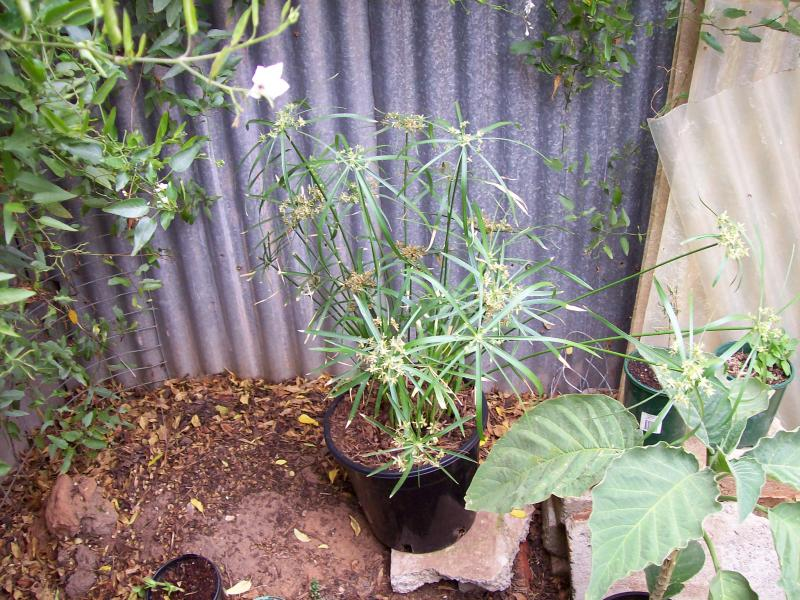 Cyperus Alternifolia