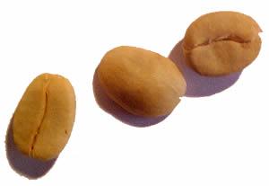 Coffee seeds (Coffea arabica)
