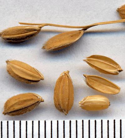 Rice Seeds (Oryza sativa)