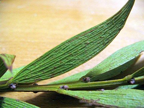 """Acacia lanigera """"wooly wattle"""""""