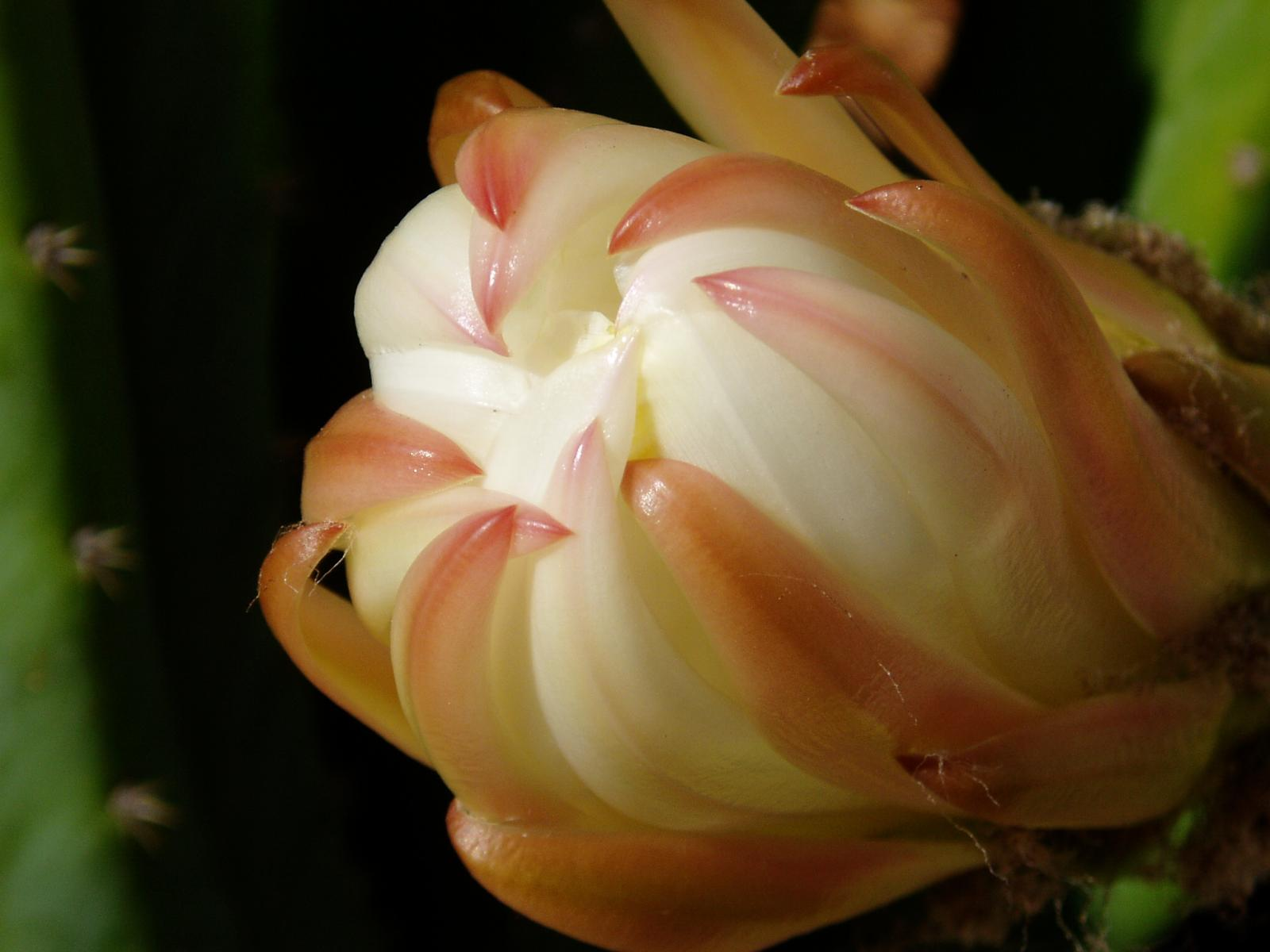 Pachanoi flower about to open