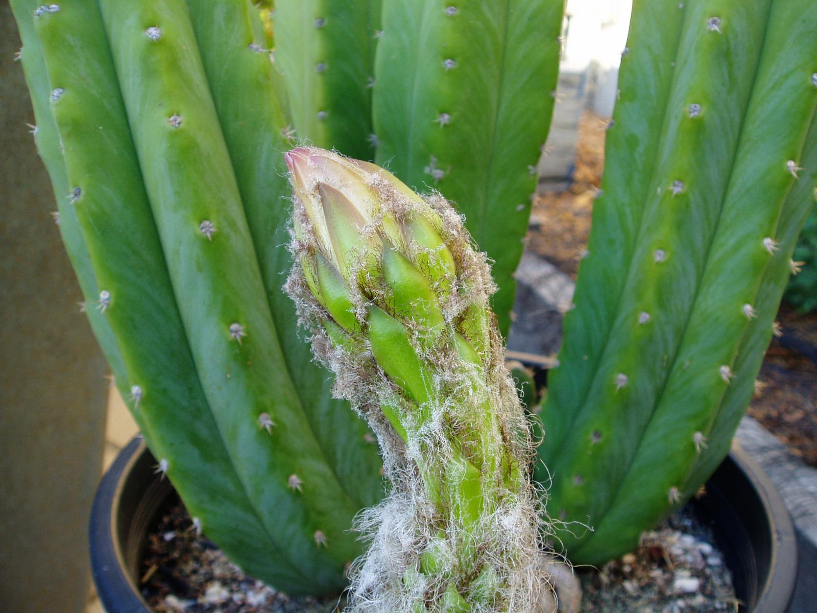 Pachanoi flower forming