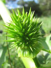 datura stromonium immature seedpod