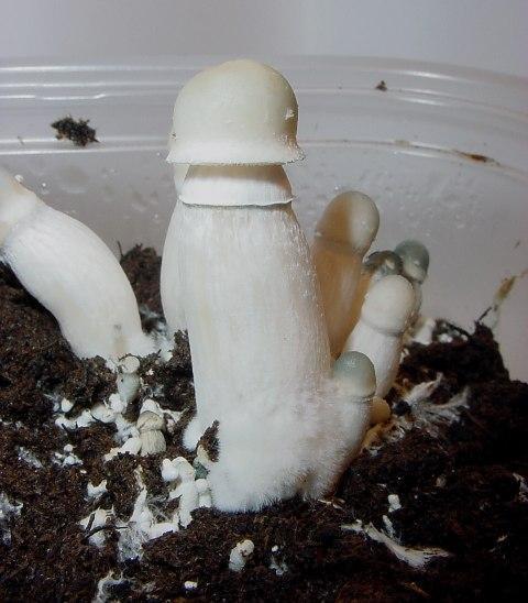 Albino PE