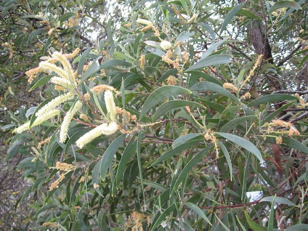 SE QLD Acacia Identification ???
