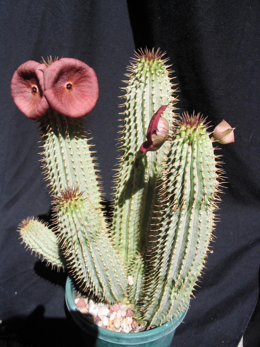 Blooming Hoodia