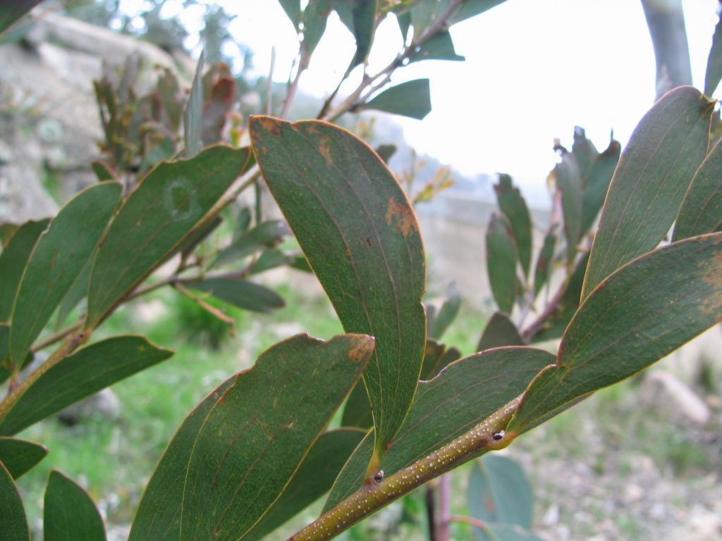 Suspected A. alpina/A. phlebophylla hybrid