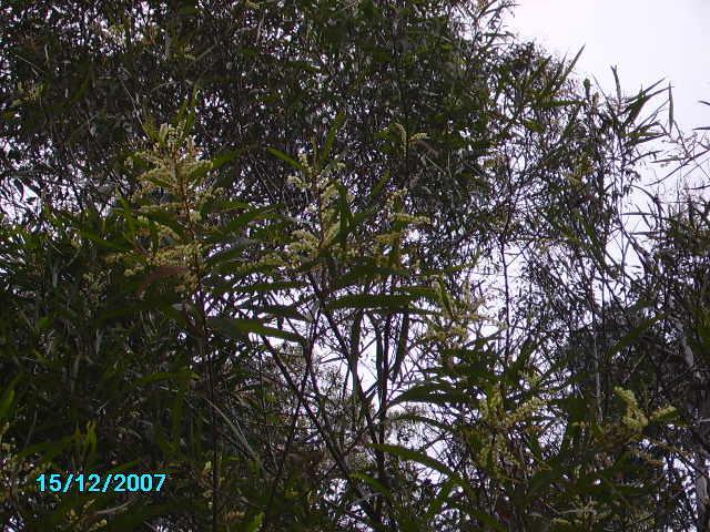 A. obtusifolia