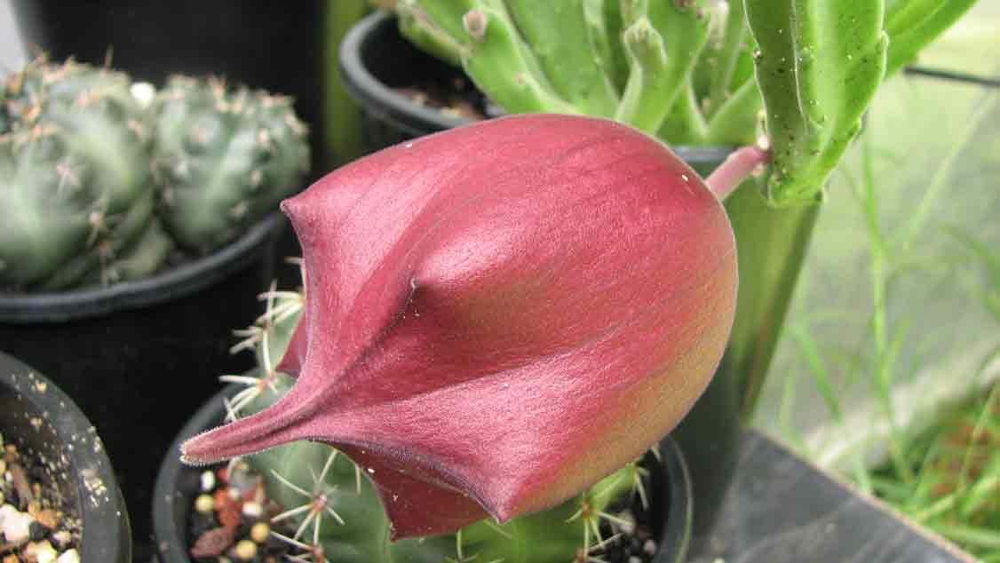 stepelia flower 2