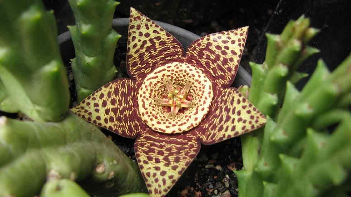 stepelia flower