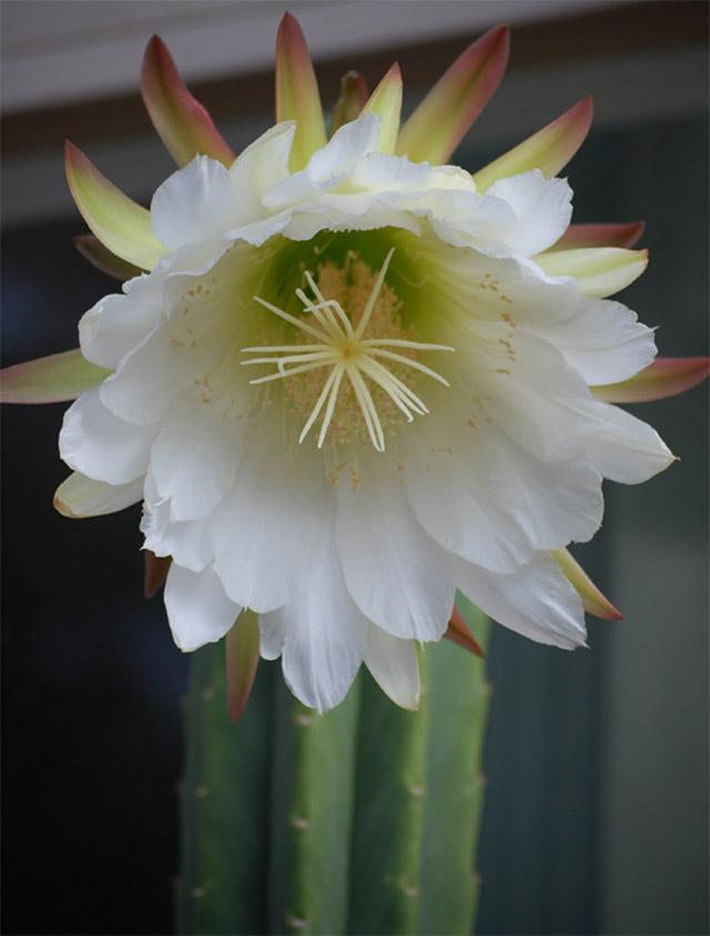 pachanoi flower