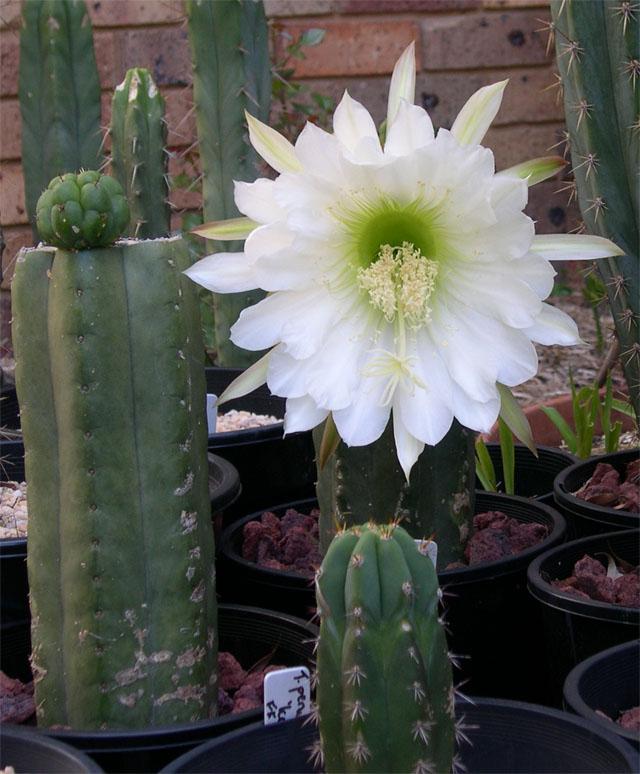 yowie flower