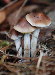 P. subaeruginosa