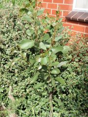 Acacia phlebophylla